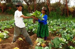 Bauern auf dem Salatfeld