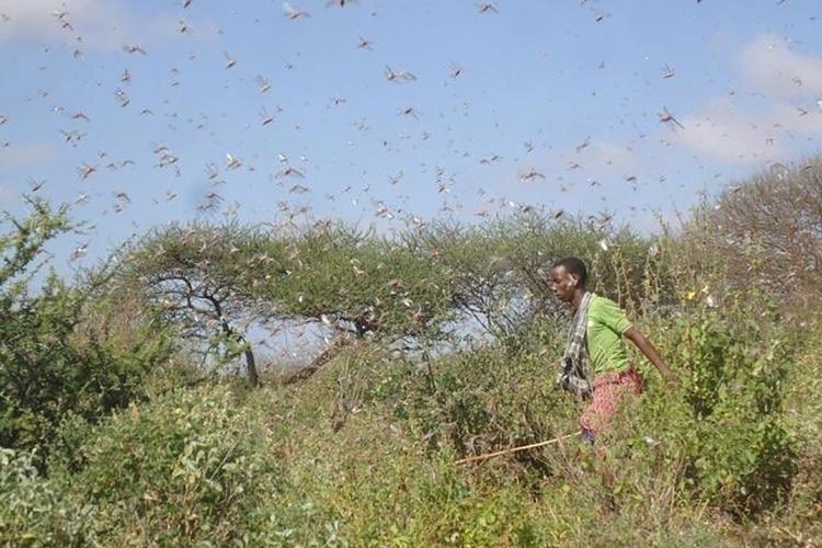 Eine Katastrophe in ungekanntem Ausmaß: Wüstenheuschrecken vernichten ganze Ernten in Ostafrika. (Foto: Diakonie Katastrophenhilfe)